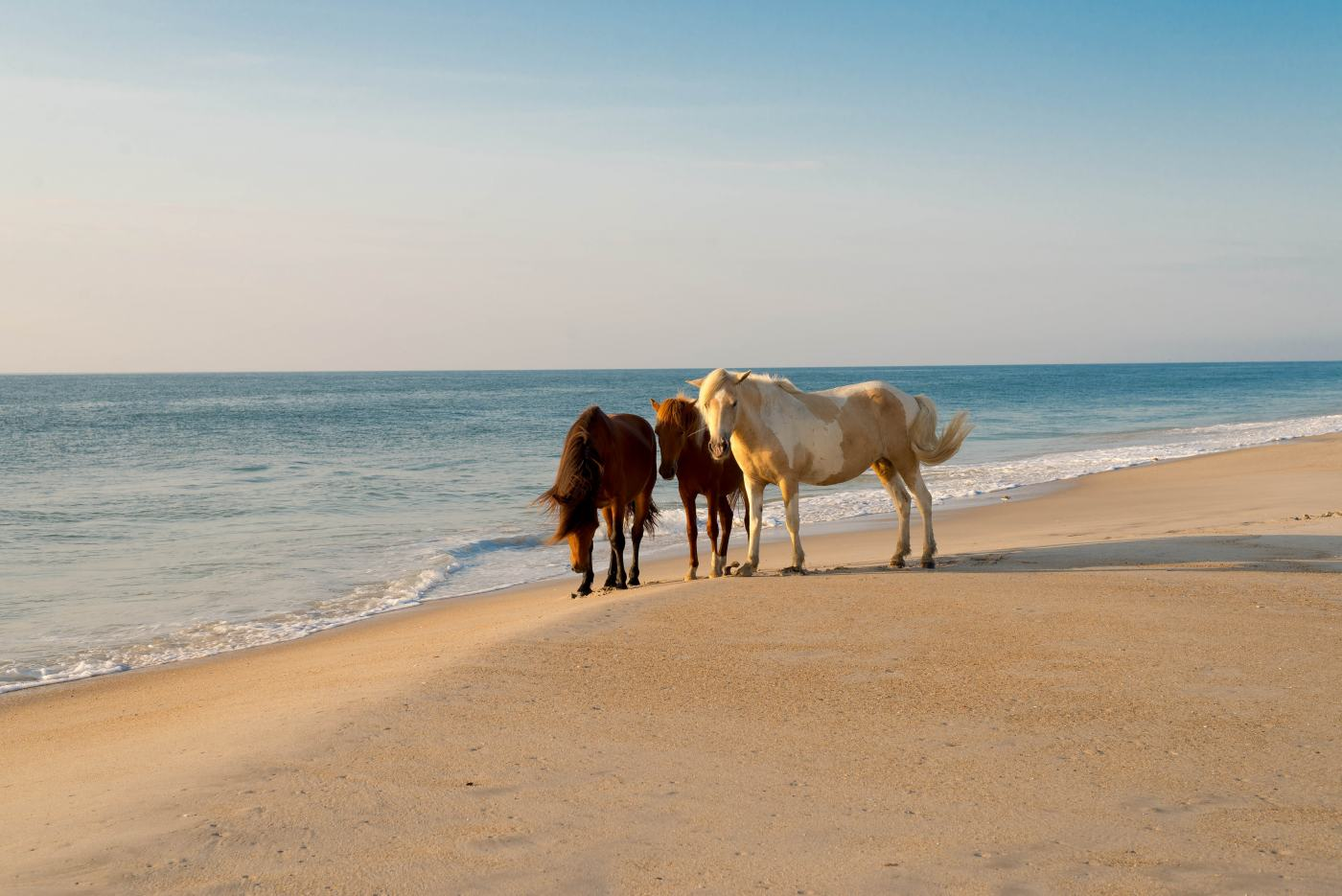 Wild Horses on Assateague Island