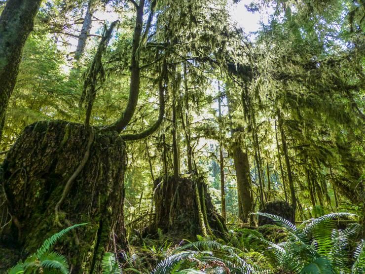 WA Rainforest-Hoh Rainforest